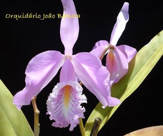 C. máxima concolor JB