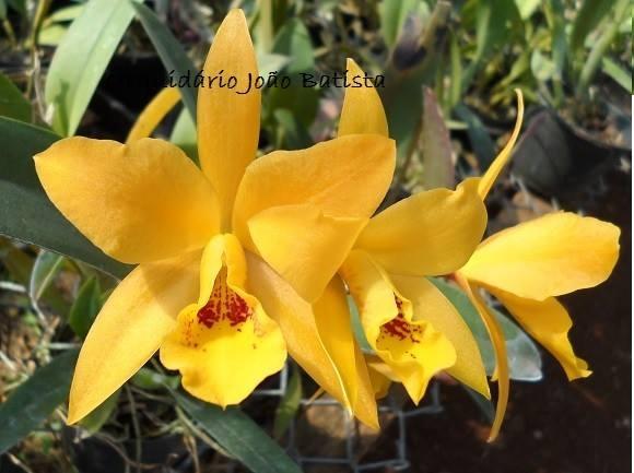 Lc. Gold Digger Orchidglads Mandarin